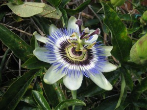Passionflower Mengobati Kecemasan Dan Insomnia