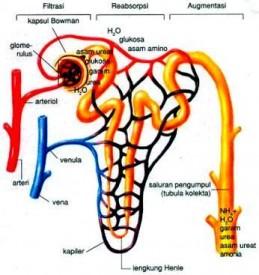 Pembentukan Ureum Pada Ginjal Manusia
